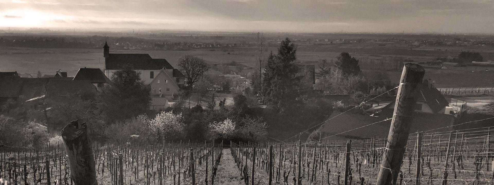 Vignoble des Vins d'Alsace Pernet et Fils à Dambach-la-ville dans le Bas-Rhin, le long de la route des vins